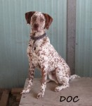 Type: German Shorthaired Pointer mix Size: 70 lbs