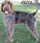 Type: German Wirehaired Pointer Size: 75 lbs