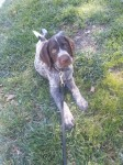 Type: German Wirehaired Pointer Size: growing