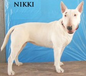 Type: Bull Terrier Size: 45 lbs
